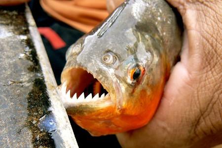 Pescando pirañas en el Amazonas