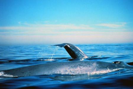 Ballena azul, sorprendente cetáceo marino