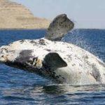 Ballena franca austral, reina de los mares del Sur