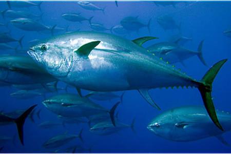 Atún rojo, a punto de extinguirse