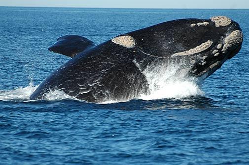 ballena negra del sur