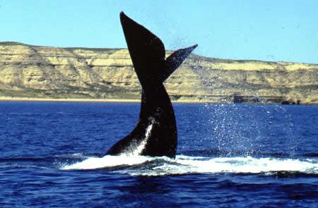 Avistaje de Ballenas en el Océano Atlántico Sur
