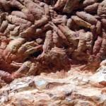 Gusanos marinos gigantes fosilizados en España