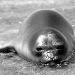 La foca monje del Mediterráneo