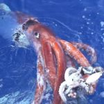 Calamares gigantes, ¿sólo mitos?
