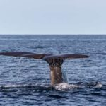 Cachalotes, siguiendo su espermaceti