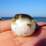 Takifugu, el pez globo venenoso