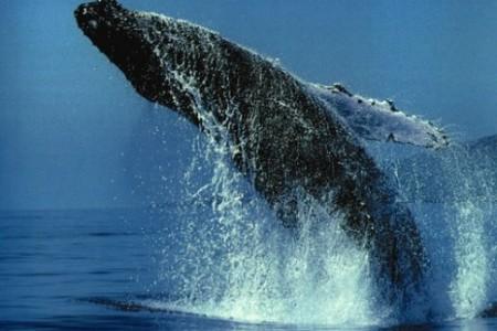 Banco de Plata, bucear entre ballenas