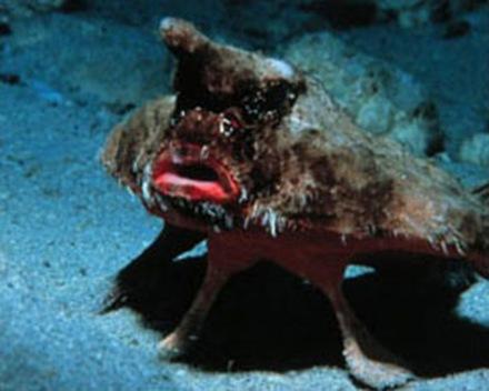 pez murcielago