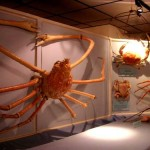 Macrocheira Kaempferi, cangrejo gigante japonés