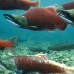 El salmón rojo, la épica de nadar a contracorriente