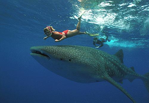 Q Significa Shark El tiburón ballen...
