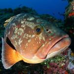 El mero, enorme pez de aguas cálidas