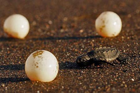 Cómo proteger los huevos de las tortugas