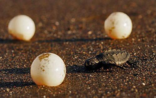 Huevos de tortugas marinas
