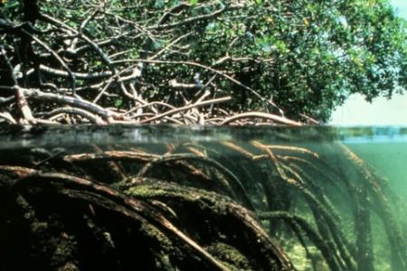 ¿Qué es un manglar?