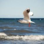 Gaviotas, las aves marinas más populares