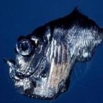 El pez Hacha de Plata