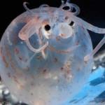 El simpático calamar cerdito