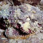 El venenoso pez piedra