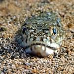 Peces venenosos en la costa española, el pez víbora