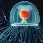 Turriptosis nutricula, medusa inmortal