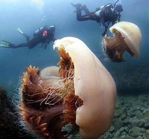 medusa-gigante-nomura-