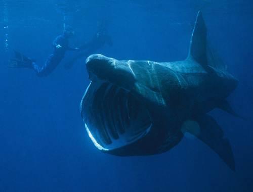 El pacífico tiburón peregrino