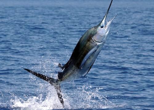 El pez espada for Curiosidades del pez espada