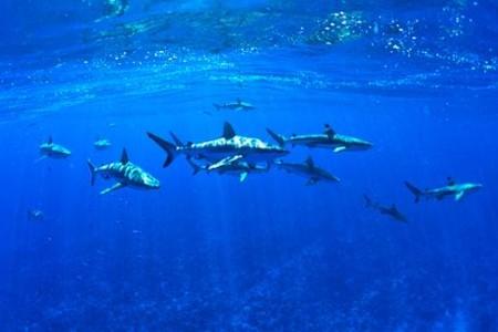 Bucear entre tiburones en Paso Tiputa, Rangiroa