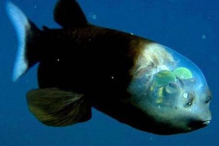 Macropinna microstoma, un pez con ojos dentro del cráneo