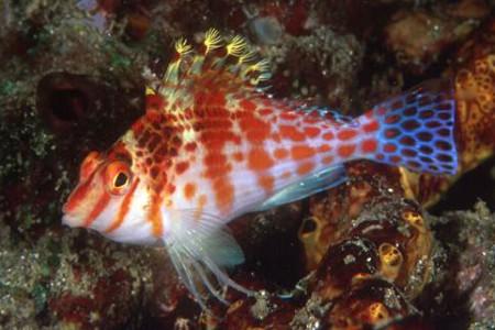 El curioso pez halcón y sus cambios de género