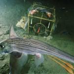Chimera monstrosa, la Quimera de los océanos