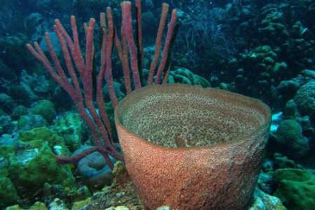La Esponja Barril del Caribe