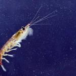 El Krill en el ecosistema del Ántártico