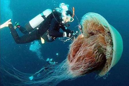 Medusa melena de león, la mayor del mundo