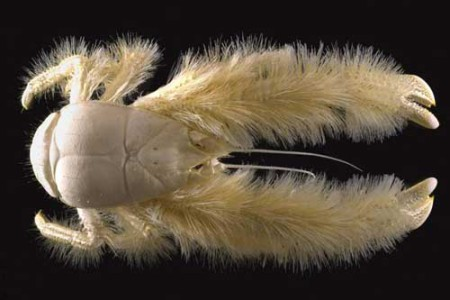 Kiwa hirsuta, el Yeti de los cangrejos