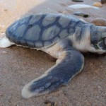 Fauna marina de Australia, la Tortuga Plana