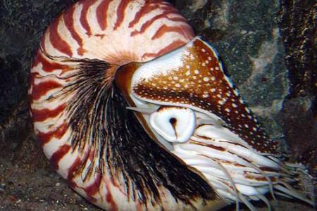 Nautilus pompilius, el cefalópodo acorazado
